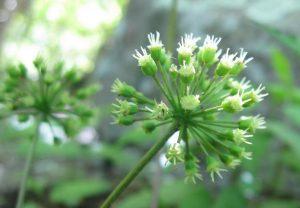 sarsaparilla-flowers[1]